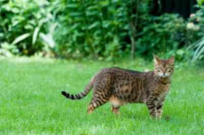 Bengal Cat Cost In The Uk