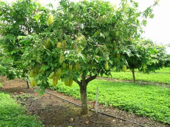 Carambola Tree (2)