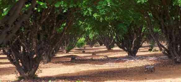 Jabuticabeiras antigas forma uma alameda serrada, onde o sol não ousa entrar! BN
