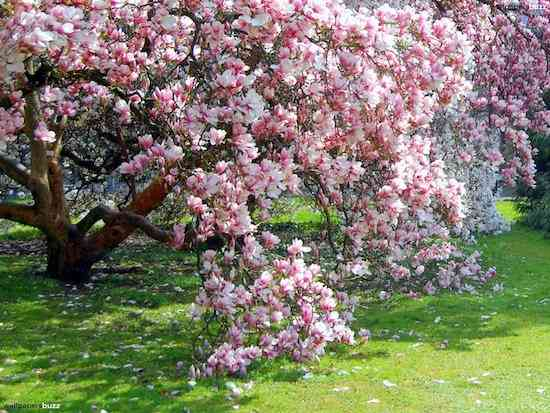 b_flowering-magnolia-tree