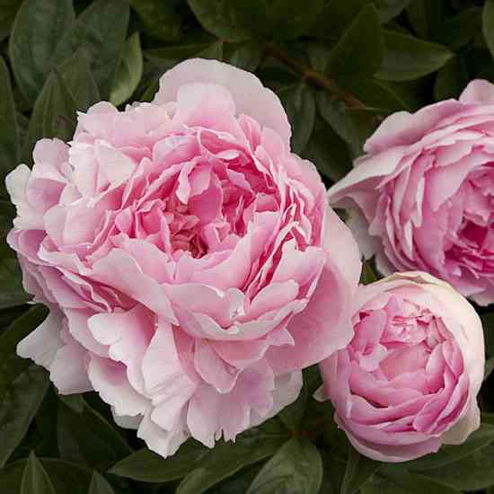 lady-orchid-peony-0410-x