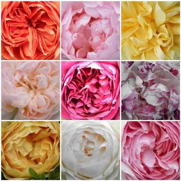 Englis Roses David Austin, mais cheirosas e tem mais pétalas!