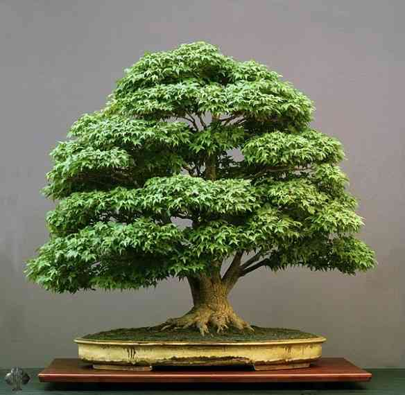 acer-bonsai-pall