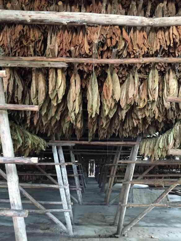 Como os vinhos, o charuto tem várias etapas de produção... Aqui a secagem das folhas!
