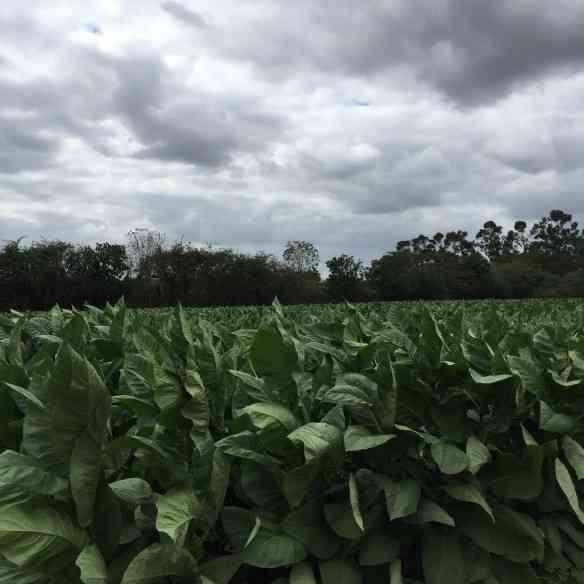 Uma plantação do tabaco mais precioso do mundo em Vuelta Abajo!