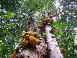Tem árvore mais elegante e imponente do jaqueira? Até no quesito beleza ela brilha!